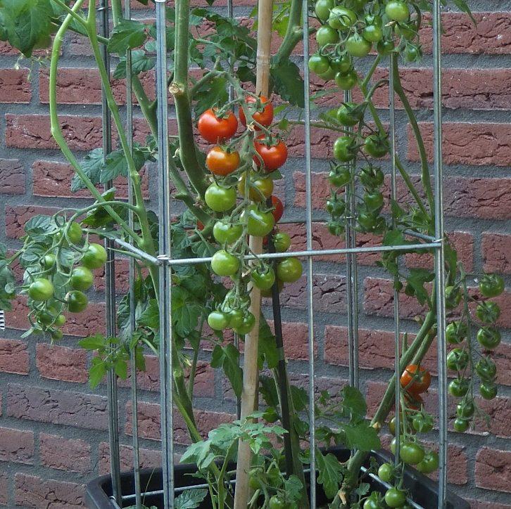 Tomatenrankhilfe 1 e1522132663710 - Rankhilfe, verzinkt