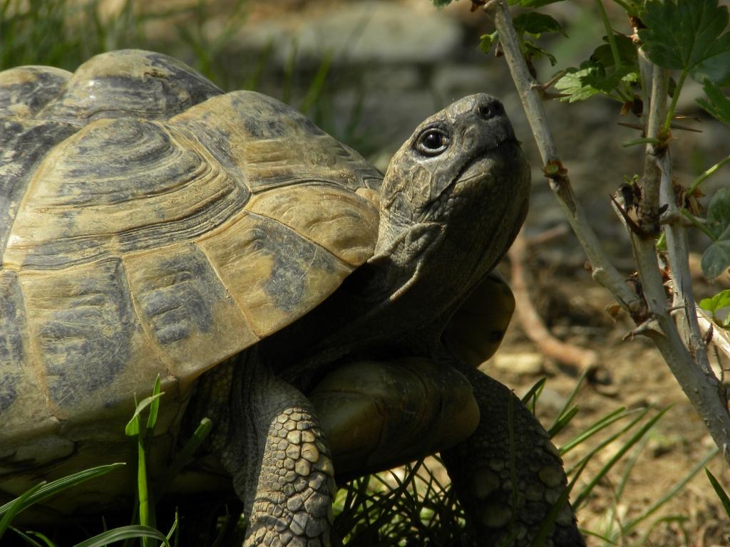 Griechische Landschildkröte Testudo hermanni ältes Tier - Ein Haus für Ihre Schildkröten